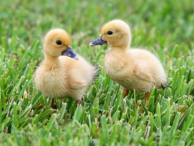 Muscovy Ducklings 20100921