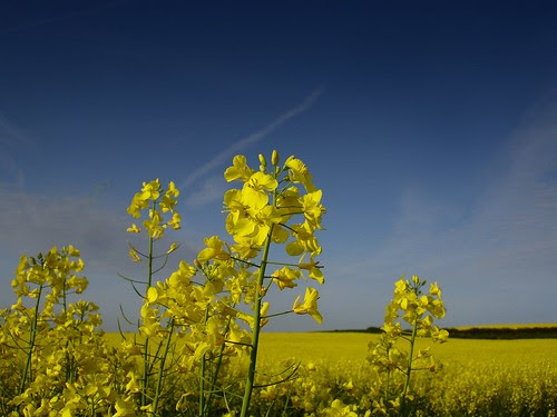 Rapeseed (also known as Canola) field