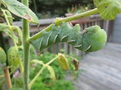 Tomato Hornworm by Teckelcar