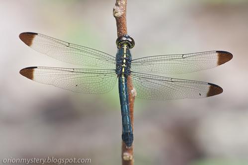 Cratilla metallica, dark tipped forest skimmer IMG_3888 copy