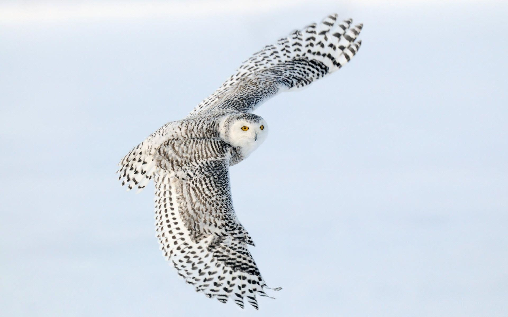 Snowy Owl Wallpaper Hd 78 Images