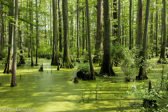 Cypress trees in a swamp in the Cache River                         Wetlands of Illinois