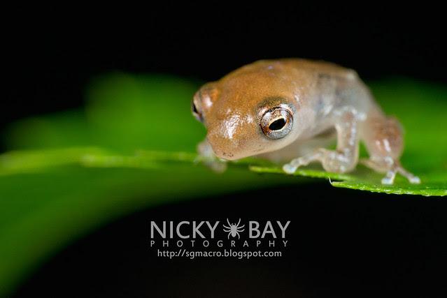 Frog (Anura) - DSC_8852