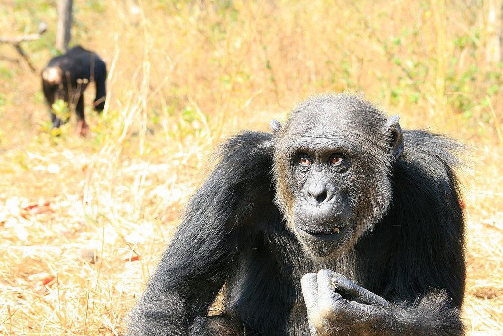 Os estranhos chimpanzés com olhos humanos