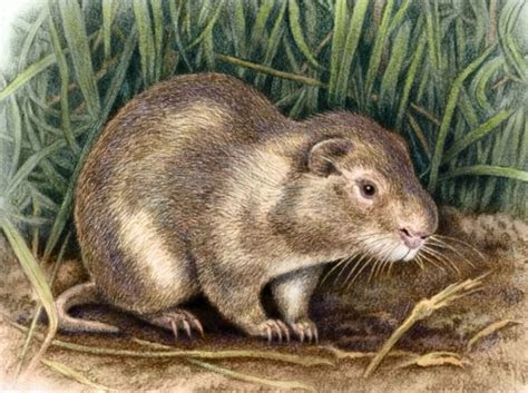Greater Cane Rat by WillemSvdMerwe on DeviantArt