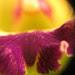 Lc. green veil dressy  ( laeliocattleya cuisseag x cattleya landate )