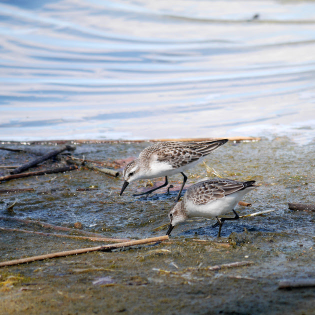 Ed Gaillard: birds &emdash; Semipalmated Sandpipers, Jamaica Bay