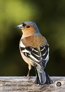 suara burung kicau finch,gambar burung finch,Adult male Chaffinch (Fringilla coelebs)of the Fringillinae