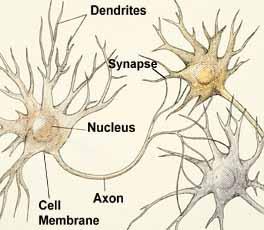 Neuroanatomy Synapse Dendrite Axon