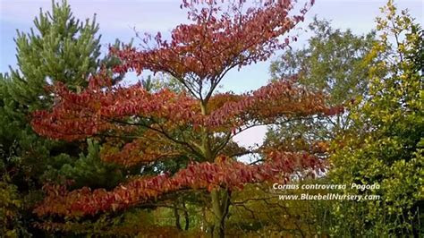 Cornus controversa 'Pagoda' (Wedding Cake Tree)   YouTube