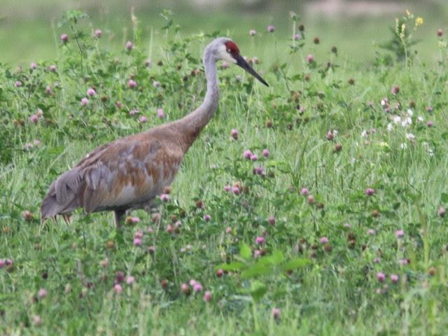 Sandhill Crane 20110819