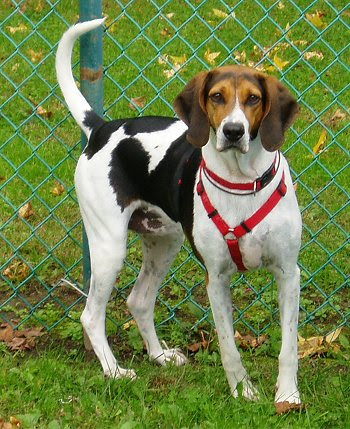 American Foxhound Facts, Temperament, Training, Puppies, Pictures