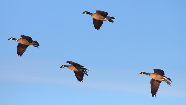 IMG_1812 Aleutian Cackling Geese