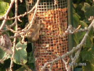 a Yellow Necked mouse on a bird feeder