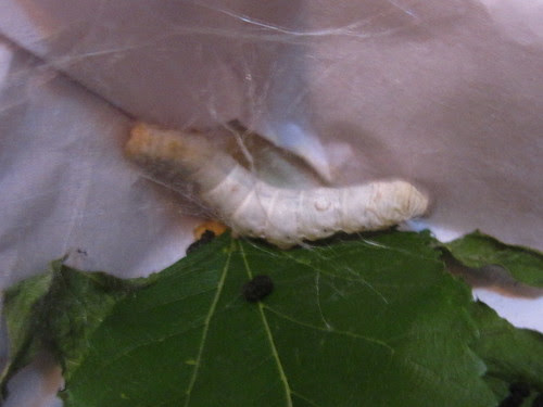 Silkworm beginning to spin a cocoon