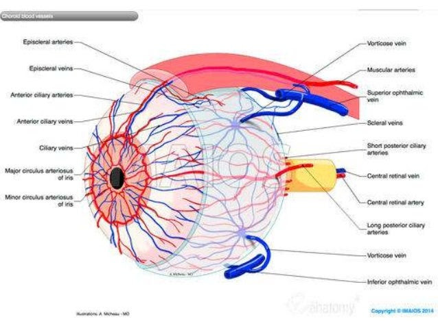blood supply of eye and optic nerve 20 638