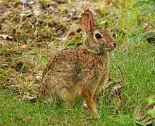Easter Cottontail rabbit