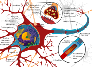 Complete neuron cell diagram. Neurons (also kn...