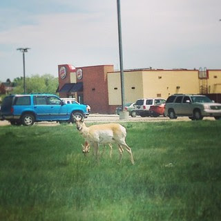 Day154 It's very odd to see Antelope grazing in front of a Burger King. 6.3.13 #jessie365