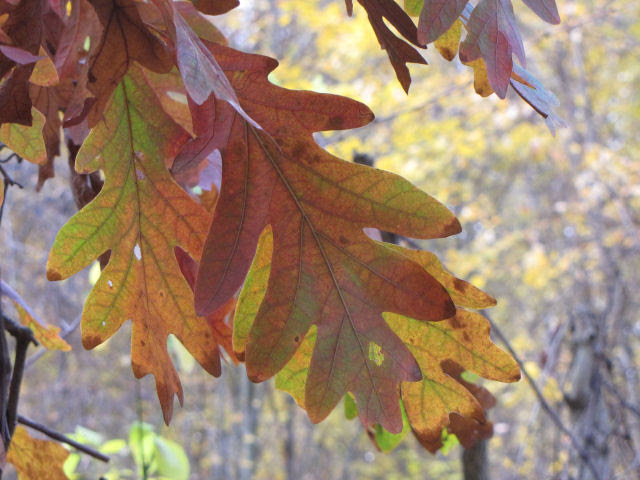 white oak fall leaves