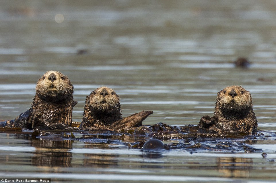Daniel Fox photographed three otters playing in the water on Kodiak Island, Alaska, this summer during a three month kayaking trip around the state's islands