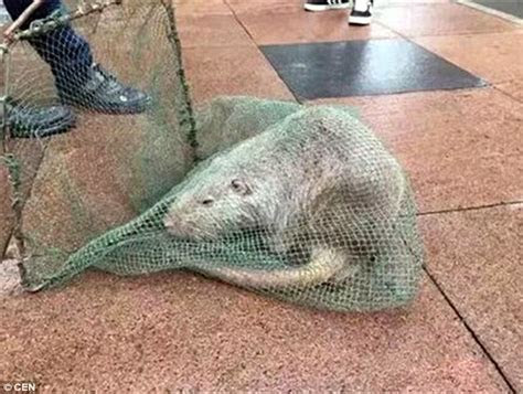 3ft 'mutant rat' on campus in Wenzhou   Daily Mail Online