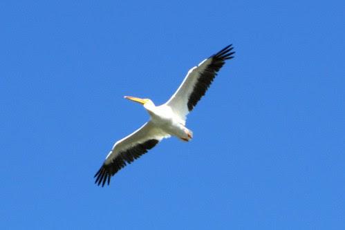 IMG_5854_Pelican_at_Giant_Springs_Great_Falls_MT