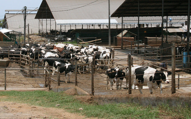 Cows walking back to their feedlots after milking