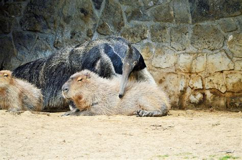 Why do capybaras get along so well with literally every other species?   AOL News