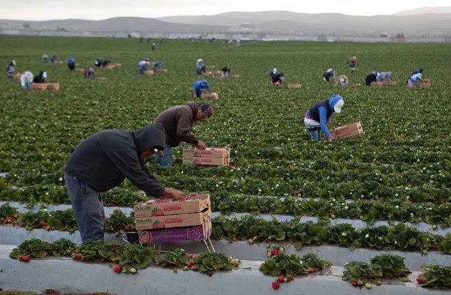 Jornaleros pizcan fresas en San Quintín. Foto: Antonio Nava