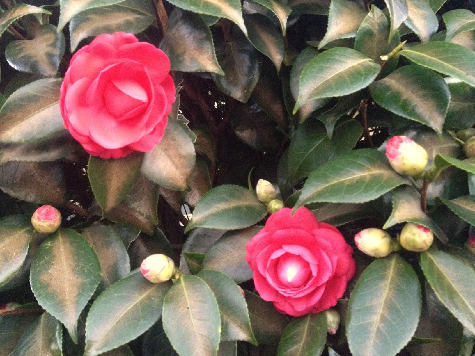 Camellia Ten Random Facts