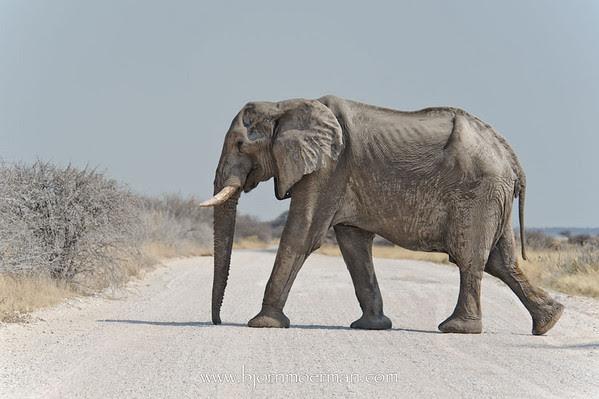 Elephant at Etosha-Namutoni