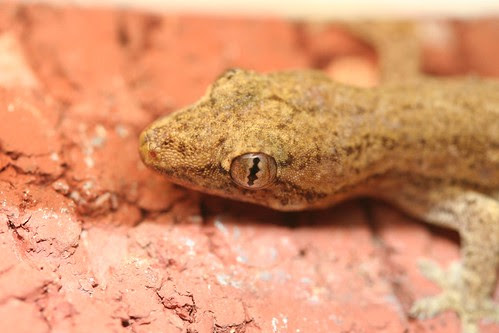 Moths eye view of gecko2