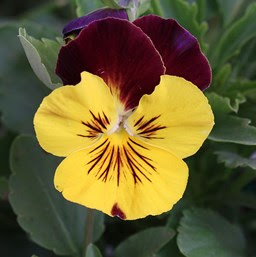 Pansy Costa Farms