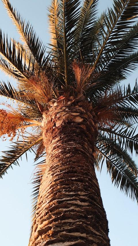 خلفية نخلة عراقية من احلى انواع النباتات في العالم النخلة العراقية