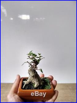 Mame Bonsai Trees For Sale Bonsai Tree