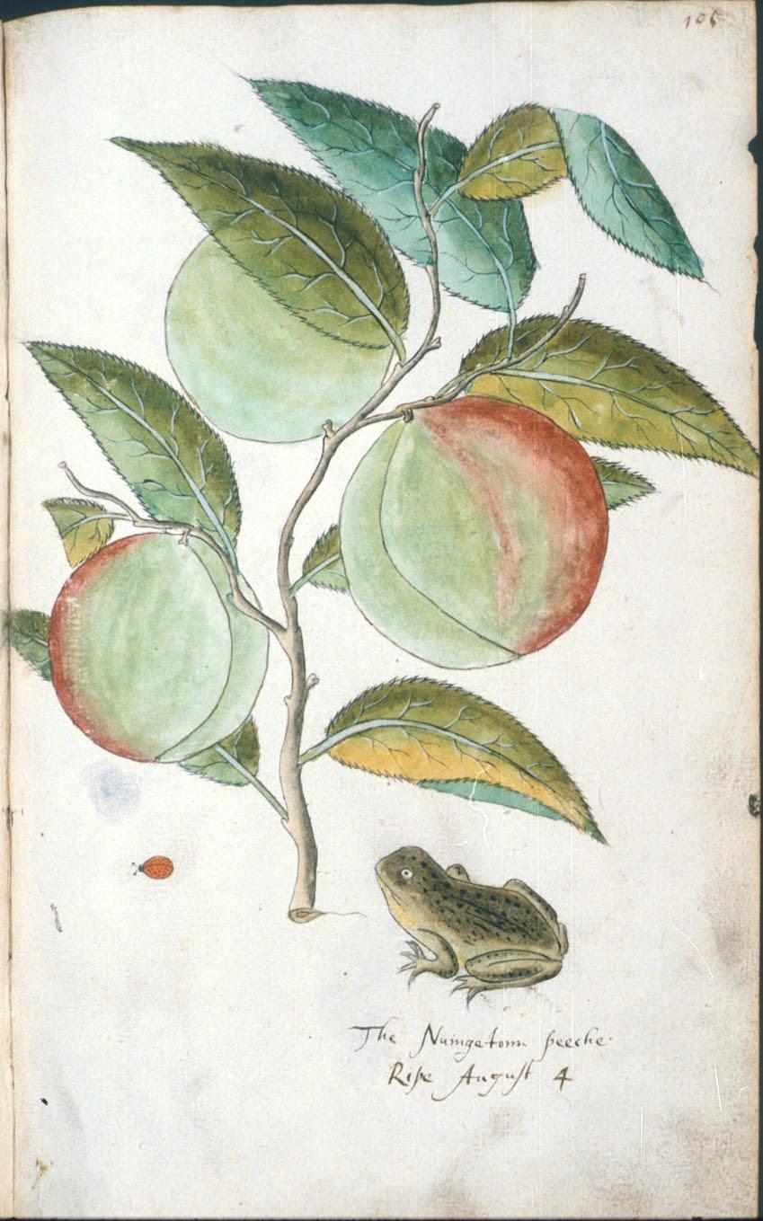 The Nuingetonn peeche in Tradescant's Orchard