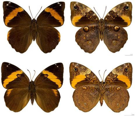 Opsiphanes cassiae  Por; Neotropical butterflies