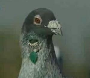 Küpe takılmış bir Urfa güvercini
