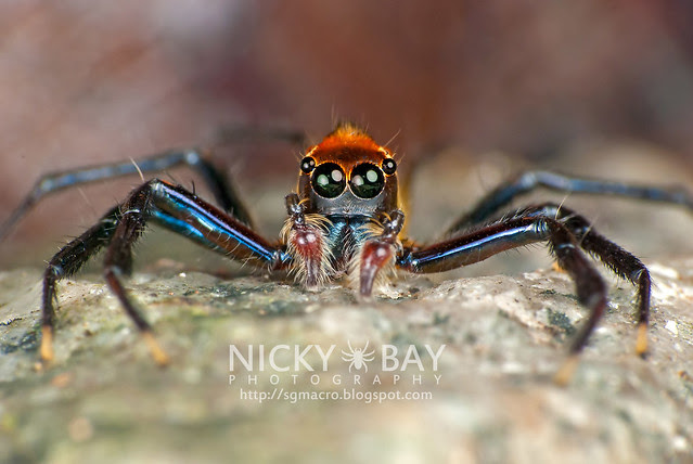 Jumping Spider (Epeus sp.?) - DSC_9037
