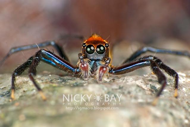 Jumping Spider (Epeus flavobilineatus) - DSC_9037