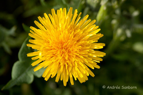 Dandelion (Taraxacum officinale)-6.jpg