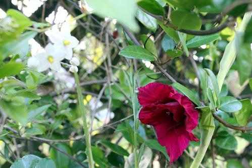 Daylillies & Jasmine