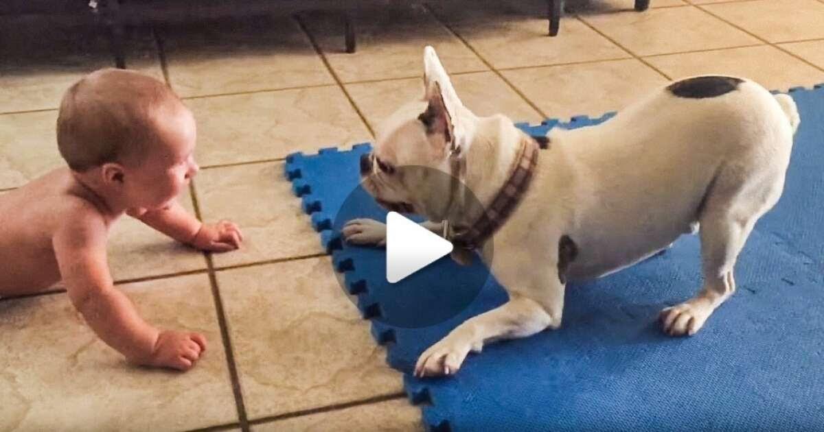 Vídeo: veja o que este buldogue faz para arrancar gargalhadas de seu amiguinho