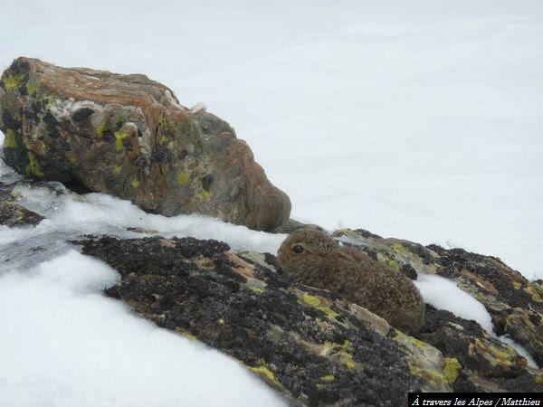 Beau petit bébé lièvre variable observé à 2400 mètres d'altitude dans le froid...