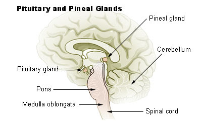Archivo:Illu pituitary pineal glands.jpg