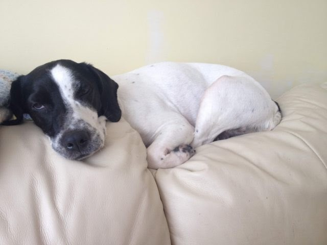 Callie – 6 year old female Springer cross Patterdale Terrier