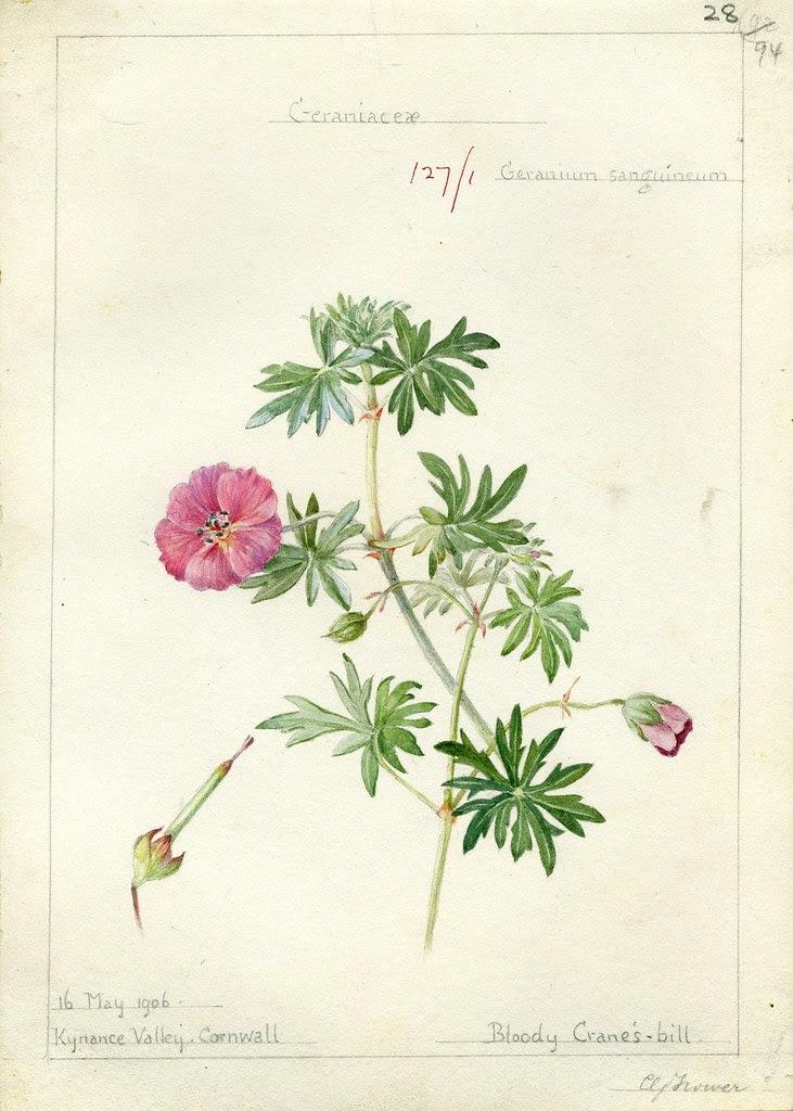 Geranium sangiuneum, Cornwall 1906