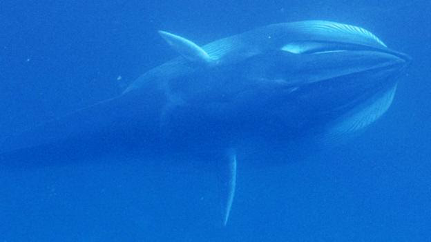 Live Omura's whales have never been seen before (Credit: Salvatore Cerchio/Open Science)