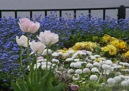 tulipswhte
